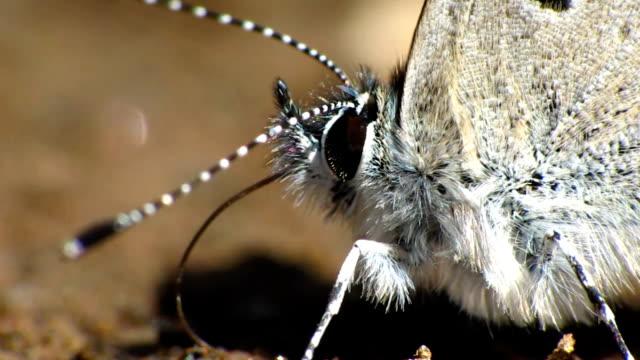 vidéos et rushes de papillon bleu yeux - des papillons dans le ventre