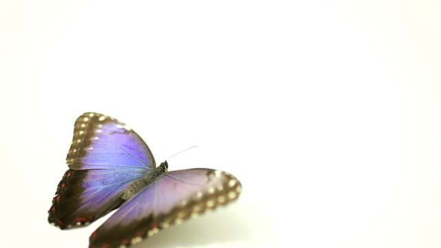 Blue Butterfly flying away on white background