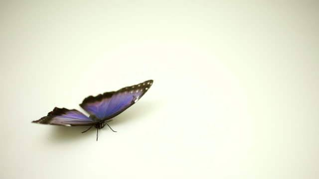 Blue Butterfly flying away