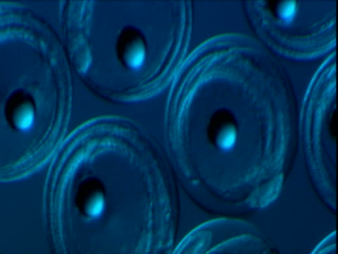 blue cells of yellowfin tuna eggs with nuclei are grouped together. - nucleus stock videos & royalty-free footage