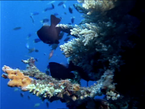 stockvideo's en b-roll-footage met blue chromis and other fish swim around corals. - ongewerveld dier