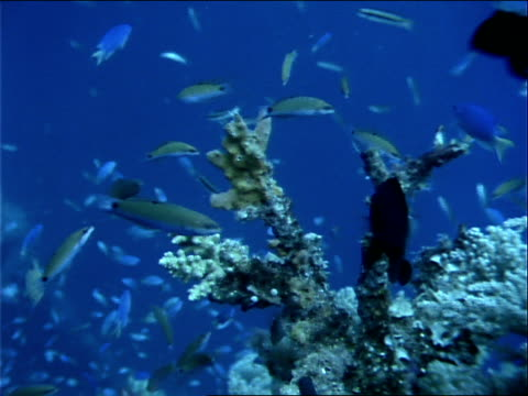 blue chromis and other tropical fish swim around corals. - other stock videos & royalty-free footage