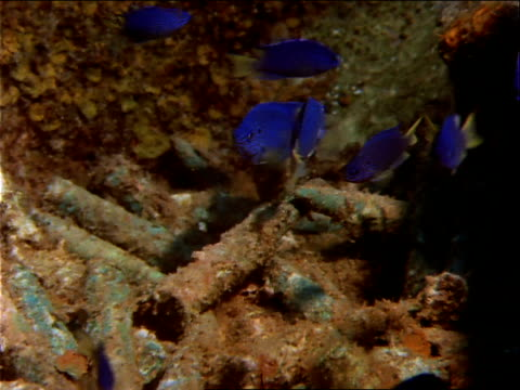 blue chromis dart around rusty bullets. - imperfection stock videos & royalty-free footage