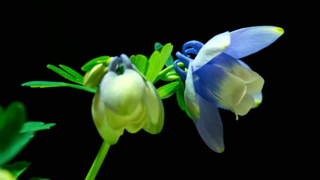 Blue columbine blooming