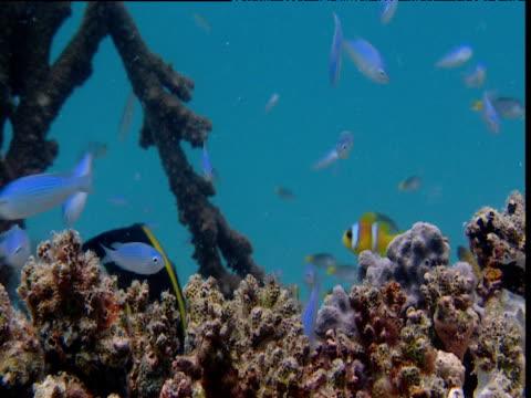 vidéos et rushes de blue coral reef fish - poisson clown à trois bandes
