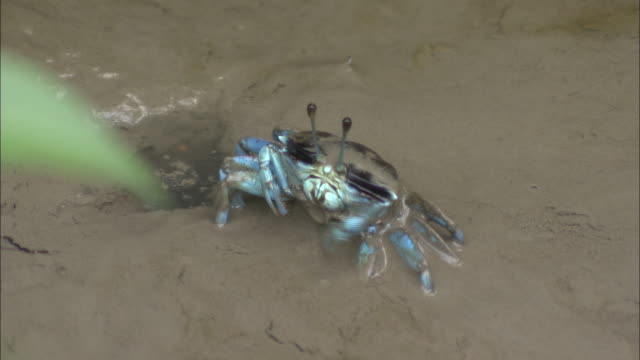 ms, ha, blue crab eating - claw stock videos and b-roll footage