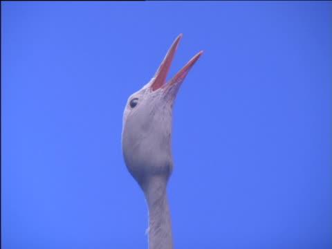 blue crane looks around, shakes head and calls out - 長さ点の映像素材/bロール