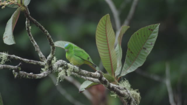 A blue crowned chlorophonia (Chlorophonia occipitalis) preens itself on a tree branch.