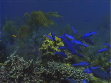 blue damselfish swim around rocks and coral formations on the floor of the caribbean sea. - damselfish stock videos & royalty-free footage