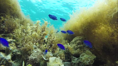 blue damselfish (chrysiptera cyanea) swim over corals as seaweeds sway in current. okinawa, japan. - tide stock videos & royalty-free footage