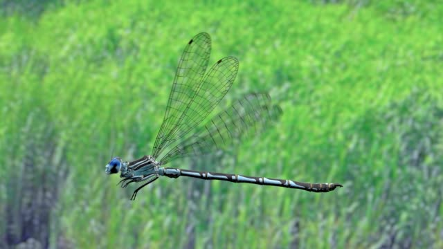 blue dragon fly flying over a river in ireland - dragonfly stock videos & royalty-free footage