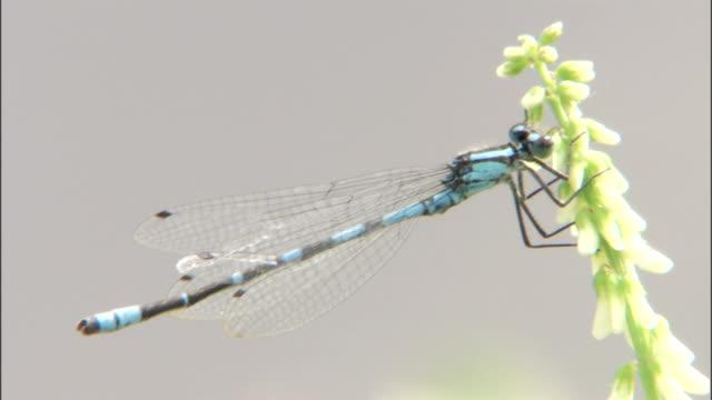 a blue dragonfly clings to a stem. - gliedmaßen körperteile stock-videos und b-roll-filmmaterial