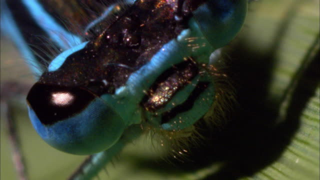 Blue Dragon-Fly Closeup