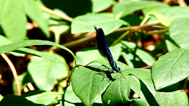 Blue Libelle auf den Wald