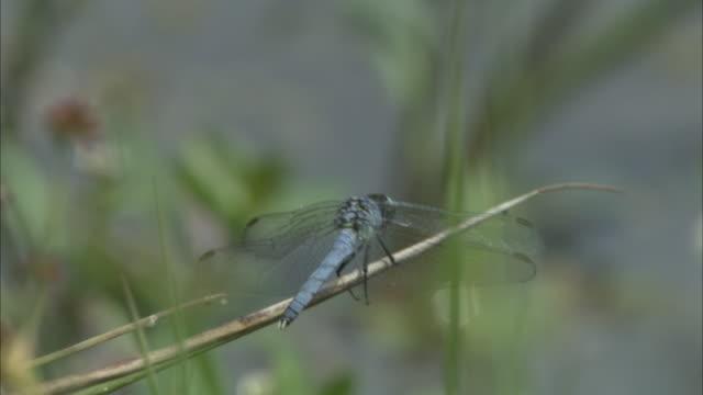 a blue dragonfly perches on a spear of grass. - gliedmaßen körperteile stock-videos und b-roll-filmmaterial