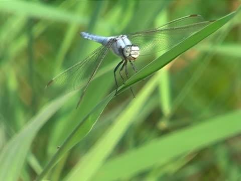 vidéos et rushes de bleu libellule  - membre partie du corps