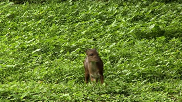 vídeos de stock, filmes e b-roll de blue antílope eats vegetação - antílope mamífero ungulado