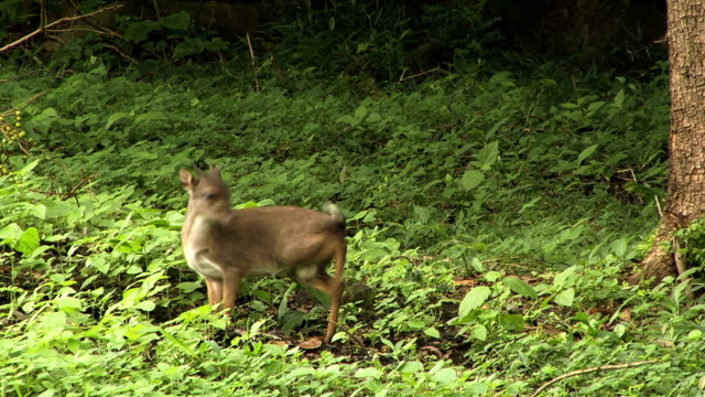blue duiker - antelope stock videos & royalty-free footage