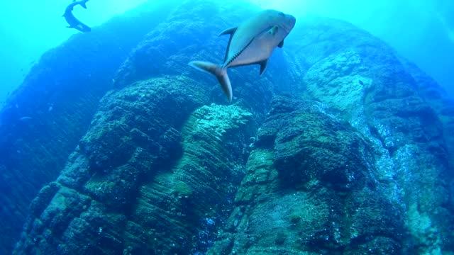 blue fin trevally underwater in socorro, mexico - baja california peninsula stock videos & royalty-free footage