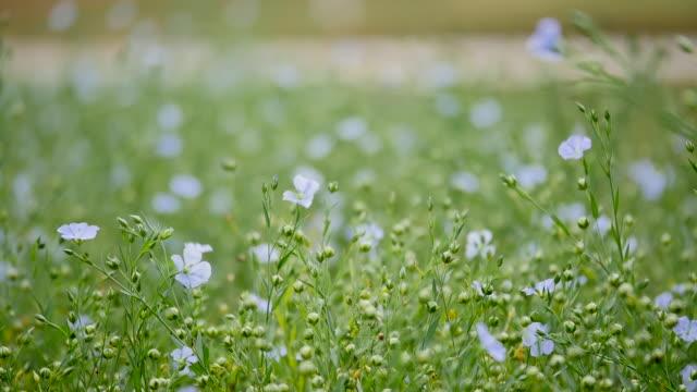 フィールドの青い花スイング - ゼラニウム点の映像素材/bロール