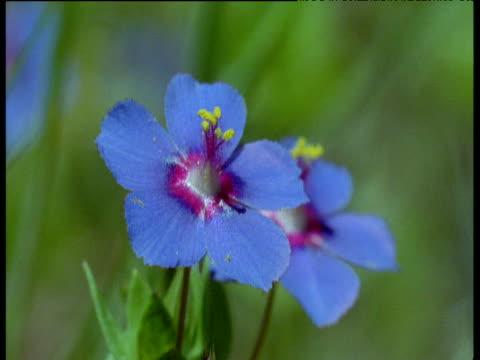 vidéos et rushes de blue flowers sway in breeze, new south wales - étamine