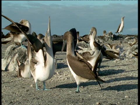 blue footed boobies courtship dance, waving their blue feet - ガラパゴス諸島点の映像素材/bロール
