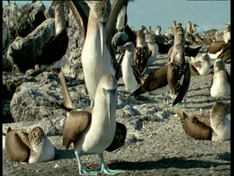 Blue footed booby courtship, including mating