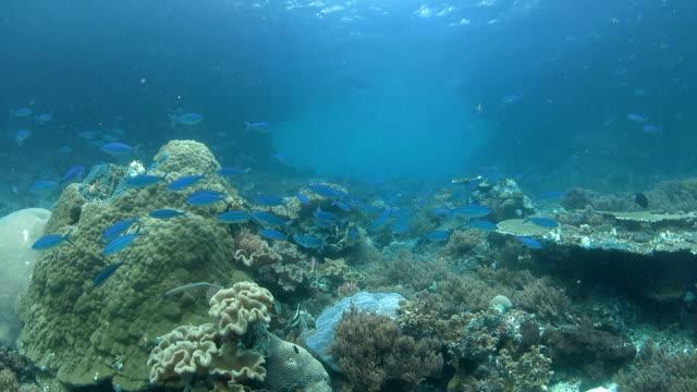 vídeos de stock e filmes b-roll de azul fuzileiro existência de superfície no mar - coral macio