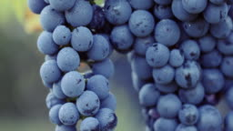 Blue grape with dew drops
