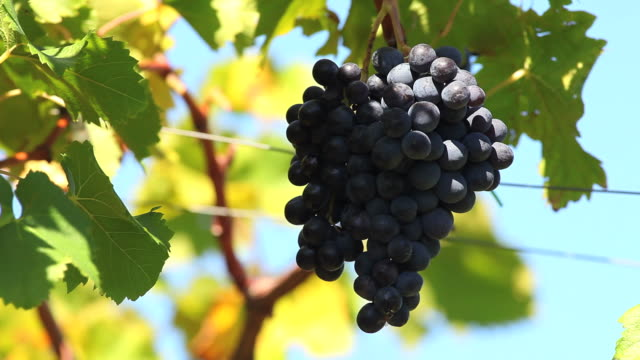 blue grapes against sky (loopable) - herbst stock videos & royalty-free footage