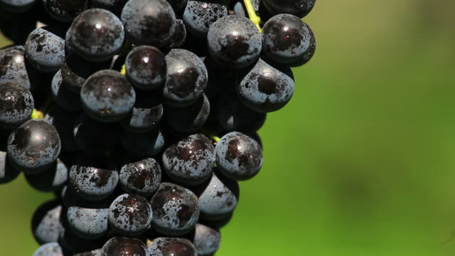 blue grapes in a vineyard close up - herbst stock videos & royalty-free footage