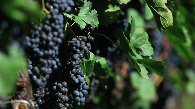 blue grapes in a vineyard close up (loopable) - herbst stock videos & royalty-free footage