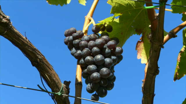 hd blue grapes in a vineyard (panning) - herbst stock videos & royalty-free footage