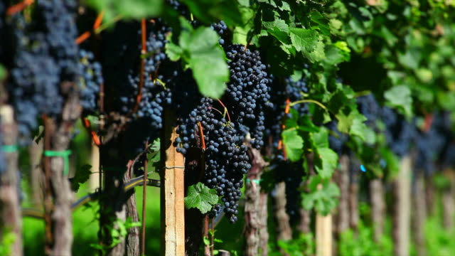 Blue Grapes in a Vineyard (Loopable)