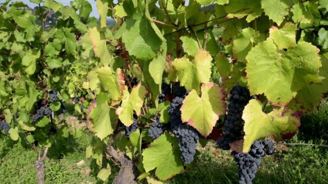 Blue Grapes in the vineyards of Sancerre