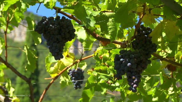 hd blue grapes (loopable close-up) - herbst stock videos & royalty-free footage