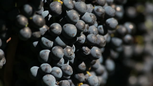 HD Blue Grapes (Rack Focus)