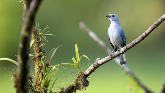 blue gray tanager (thraupis episcopus), boca tapada, alajuela province, costa rica, central america - branch stock videos & royalty-free footage