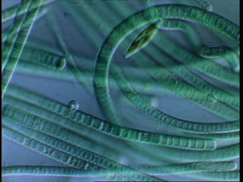 t/l blue green algae filaments moving; procaryote cell (oscillatoriales) and diatom - cianobatterio video stock e b–roll