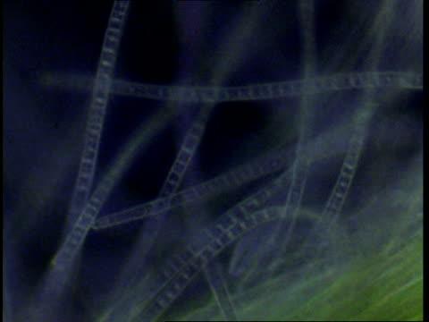 T/L blue green algae filaments moving; procaryote cell (Oscillatoriales), CU