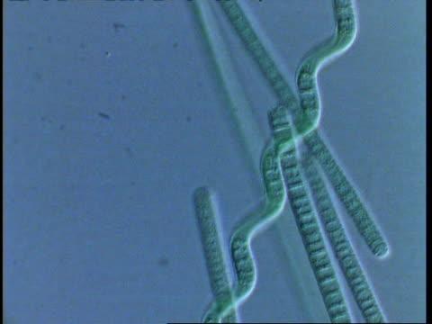 T/L blue green algae filaments moving; procaryote cell (Oscillatoriales)