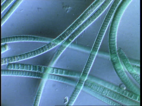 t/l blue green algae filaments moving; procaryote cell (oscillatoriales) - cianobatterio video stock e b–roll