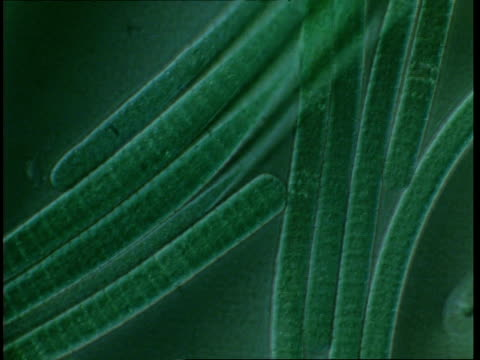 T/L blue green algae filaments moving; procaryote cell