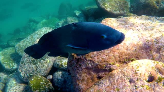 blue groper swimming - aquatic organism stock videos & royalty-free footage