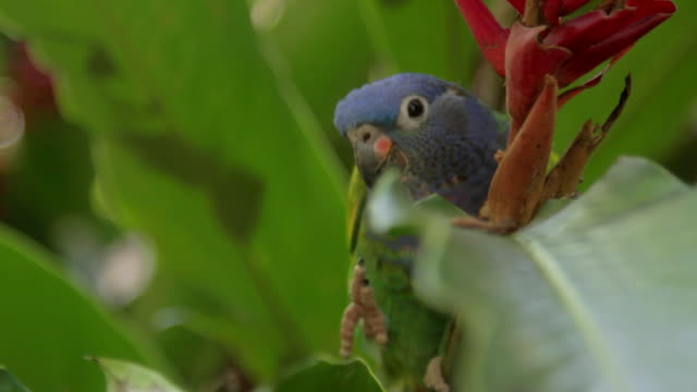 vídeos y material grabado en eventos de stock de blue headed parrot eating flower - exotismo