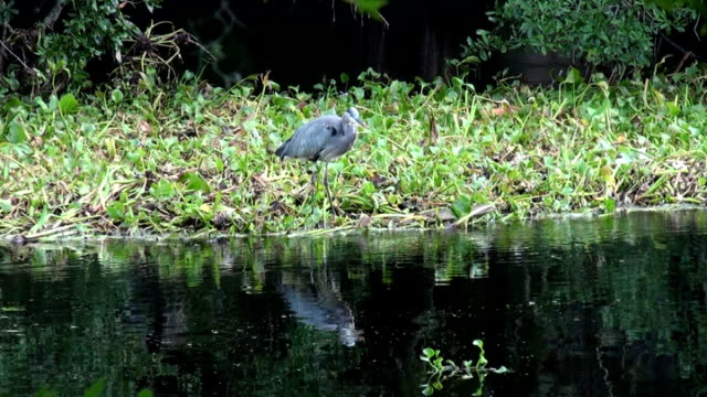blue heron alertly watching river from a bed of hyacinth - hyacinth stock videos & royalty-free footage