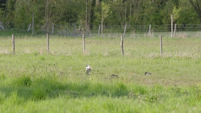 blue heron and mallard - annick vanderschelden stock videos & royalty-free footage