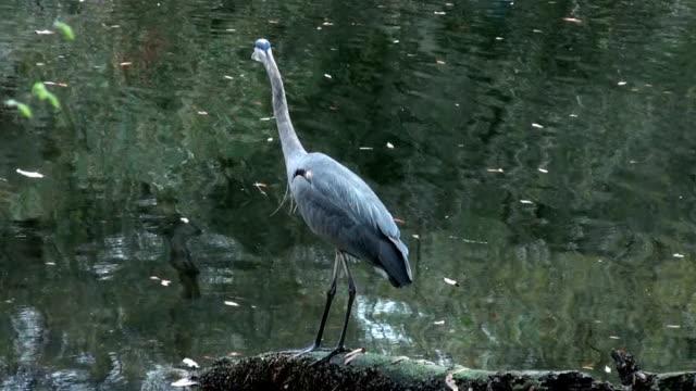 blue heron,  ardea herodias, takes flight from a river perch - heron stock videos & royalty-free footage
