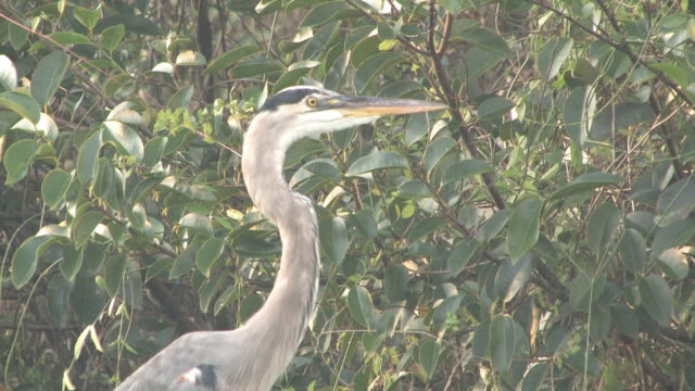 blue heron in the woods vom 1. bis 30-hd - maul stock-videos und b-roll-filmmaterial