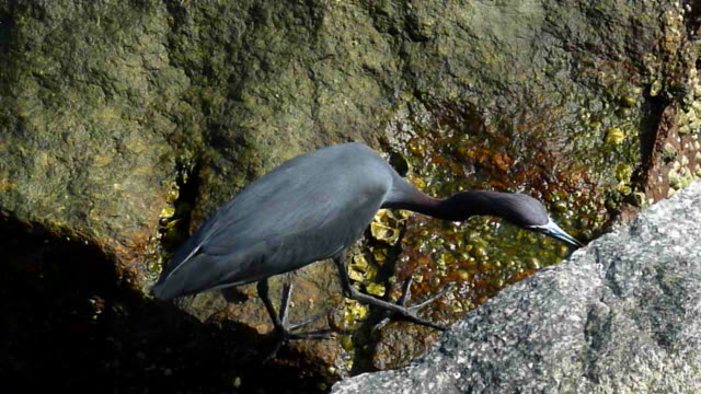 blue heron looking for food under a boulder - barnacle stock videos & royalty-free footage